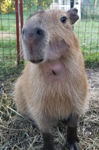 https://www.gofundme.com/gidget-the-capybara039s-dental-surgery-fund
